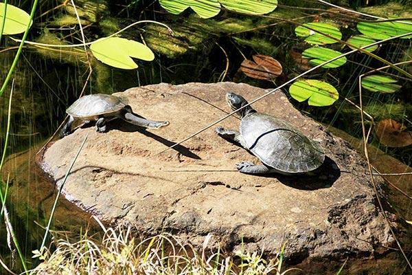 frogshollow flaxton turtles