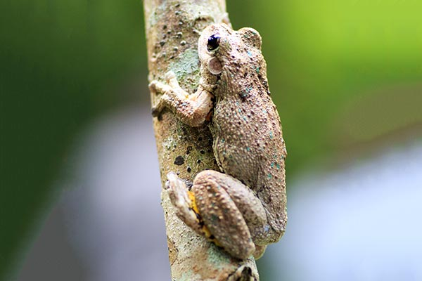 frogshollow flaxton perons tree frog