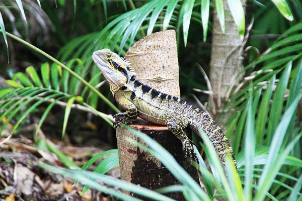 frogshollow flaxton water dragon