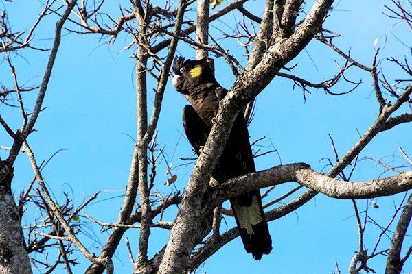 frogshollow flaxton black cockatoo